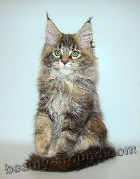 Maine coon kittens greensboro nc