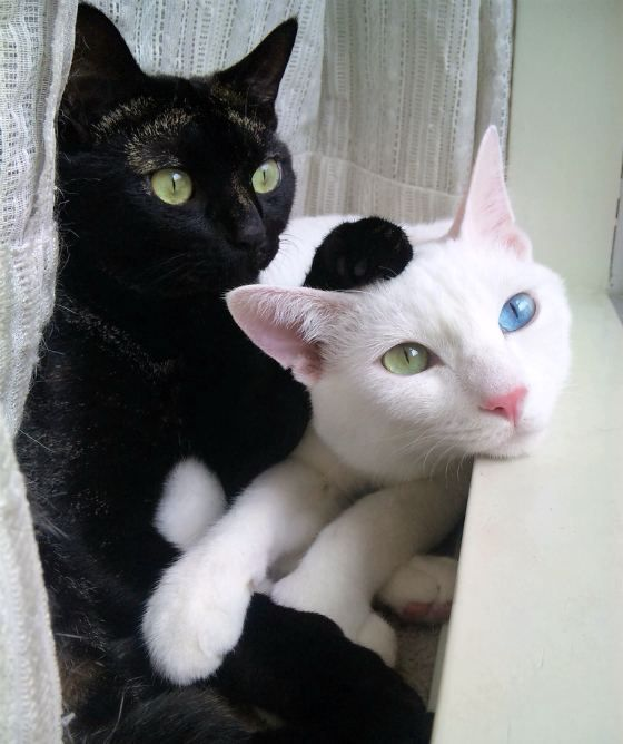 beautiful: Cats Eyes, Black And White, Black Cats, White Cats, Black White, Blue Eyes, Green Eyes, Animal, Eyes Color