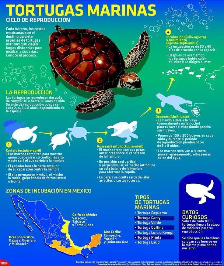 Ciclo de la tortuga marina #Tortugaton @XcaretPark @XelHaPark @FloraFaunaCultu pic.twitter.com/wNMXemEUrk