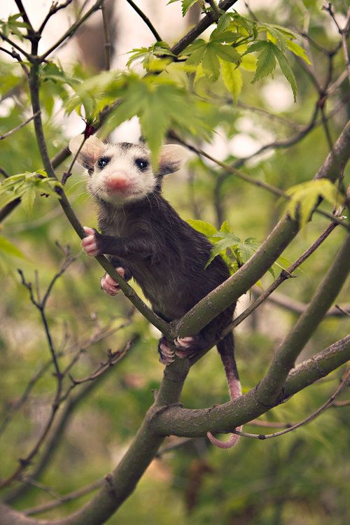 The opossum symbolizes the use of appearances... ex playing dead!