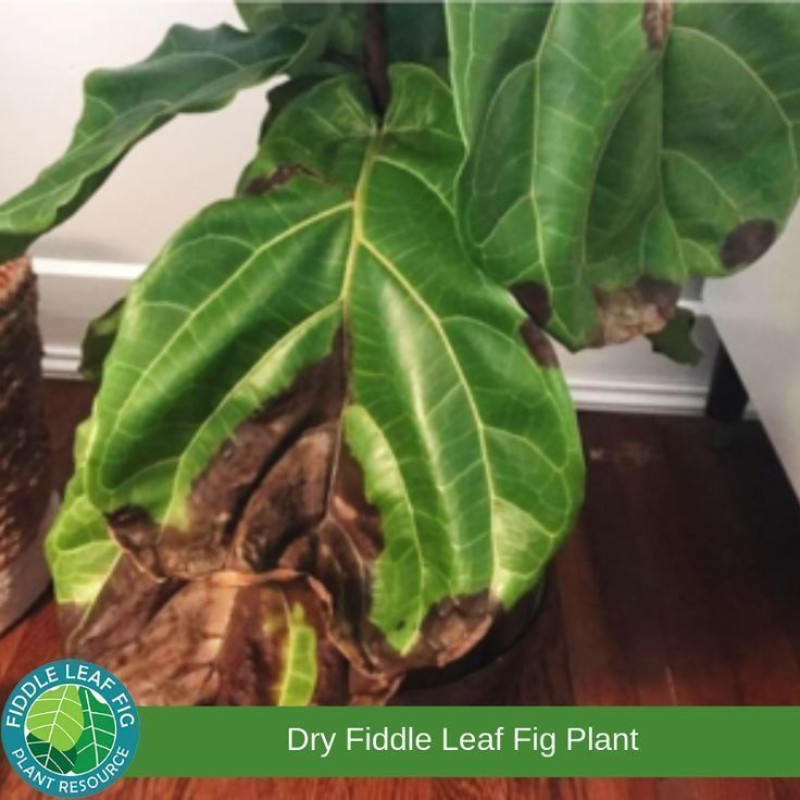 How Can You Tell The Difference Between A Dry And Over Watered Fiddle Leaf Fig Plant Fig Plant Fiddle Leaf Fig Fiddle Leaf Fig Care