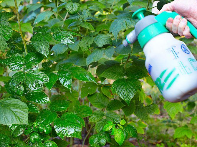 Retrouvez notre conseil du jour pour préserver vos framboisiers des punaises. Prenez soin de votre potager pour avoir de belles récoltes cet été.