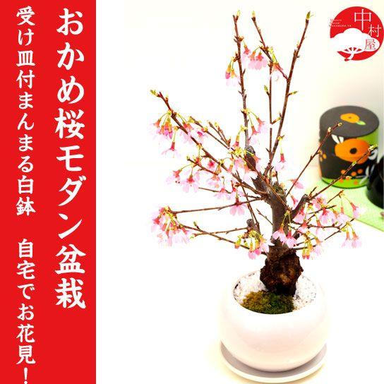 おかめ桜盆栽オカメザクラ盆栽受け皿付まんまる白鉢自宅でお花見プレゼントギフトにもぴったり桜盆栽