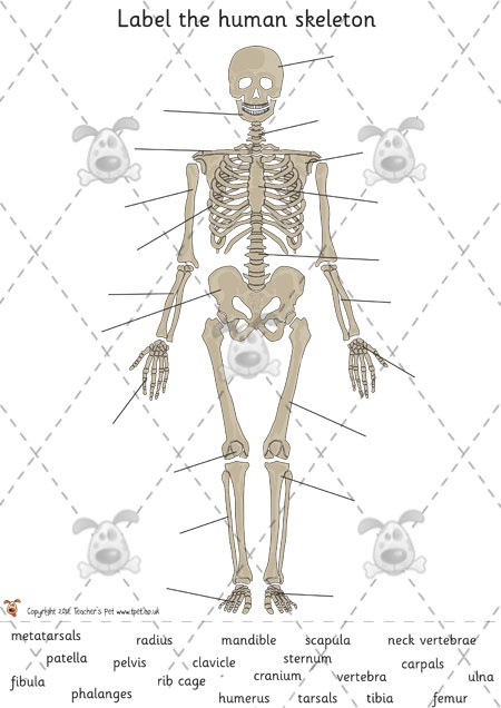 16 best simple science - the human body images on pinterest, Skeleton