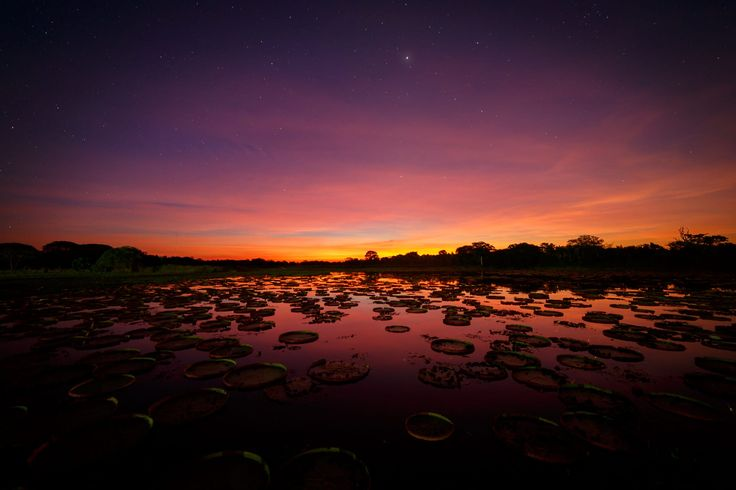 Long exposure image of the last rays of the setting sun over the small pond behind the Hotel Pantanal Norte in the northern part of the Pantanal, Brazil. In the foreground the leafs of the Giant Waterlily can be seen. The plant with the largest leafs in the World (reaching up to 3m (9.8 ft) in diameter).