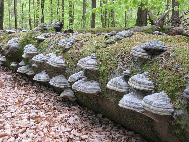 Zunderschwamm #BaySF #Staatsforsten #Waldnaturschutz #Naturschutz #Pilz #Pilze #Natur #Wasser #Bach #Teich #Holz #Totholz