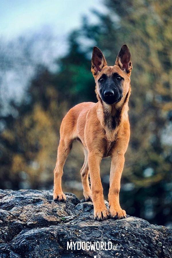 Holländischer Schäferhund Holländischer schäferhund