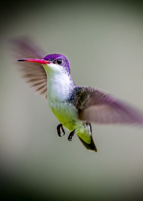 Violet Crowned Hummingbird, Part Of My Hummingbird Art Collection. Greeting…