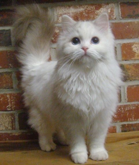 If...I was allowed to have a cat, it would be a Ragdoll like this one. Gorgeous!