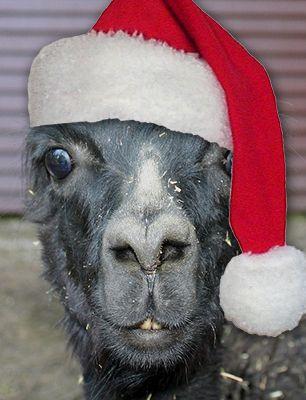 80 best Love Llamas/Adore Alpacas images on Pinterest | Animals ...