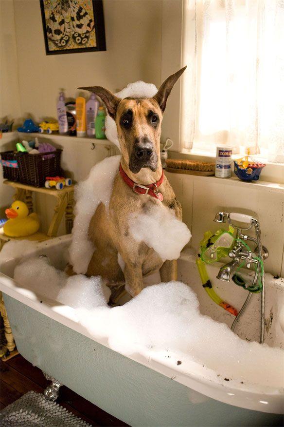 #Great #Dane taking a bath...funny!