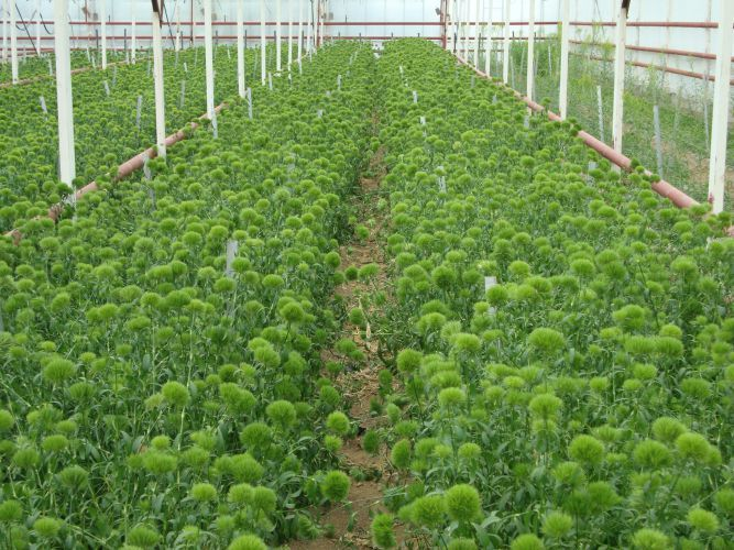 Dianthus barbatus green trick plantation carnations for Catalogue plantation