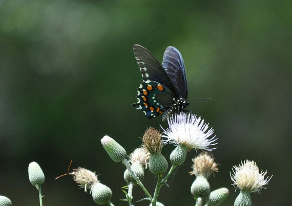 Eastern Black Swallowtail Butterfly by photosbytyler on Etsy