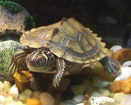 Mississippi Map Turtle - Live Baby Mississippi Map Turtles For Sale - Live Turtles For Sale