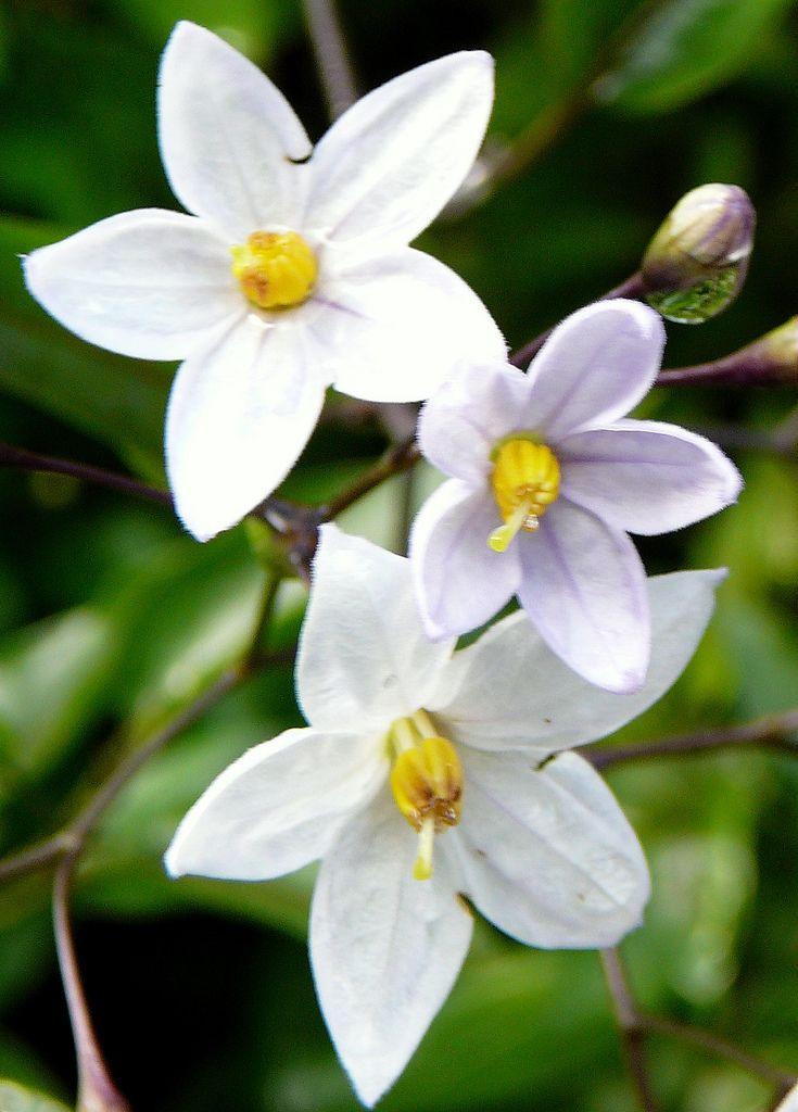 8 best jasmine images on Pinterest Flowers Beautiful and Jasmin