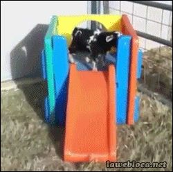 FAINTING GOAT ON A SLIDE