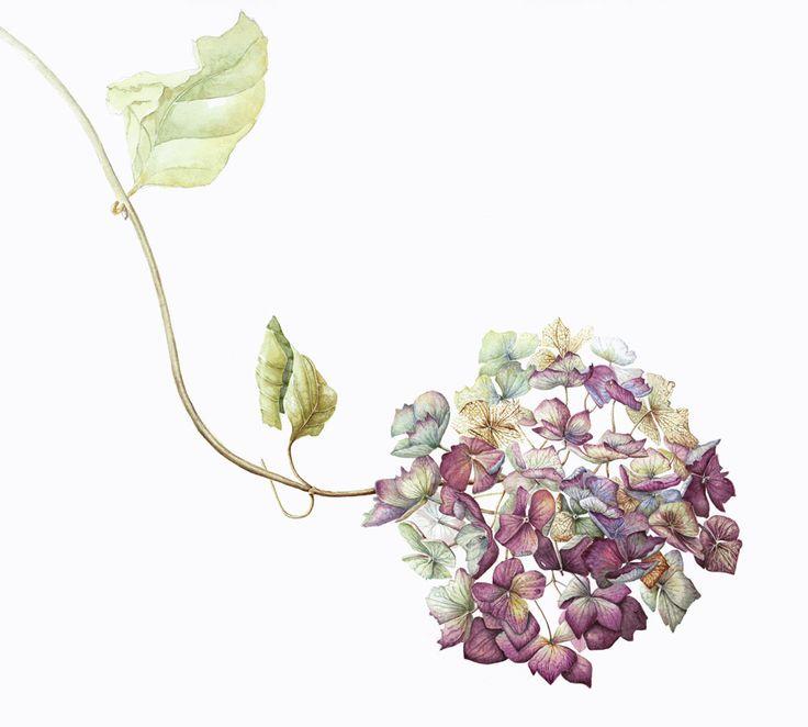 Mally Francis, Cornwall, UK / Faded Autumn Hydrangea / botanical painting