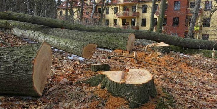 Mieszkańcy osiedla Park Sudecki w Jeleniej Górze obronili przed drwalami zagajnik obok ich domów. Wycięto jednak kilkanaście dorodnych drzew.