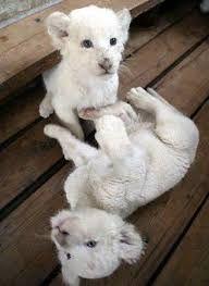 albino hayvanlar ile ilgili görsel sonucu