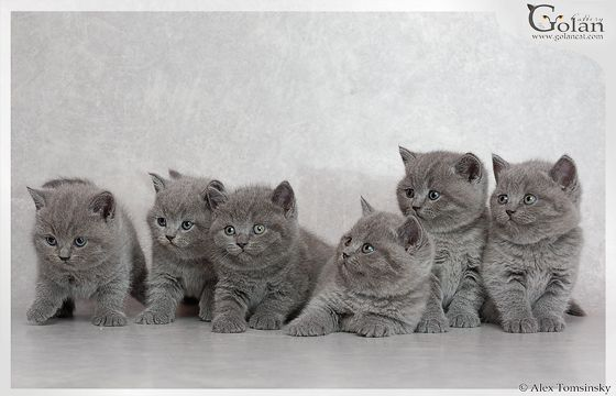 GolanCat - British Shorthair Cats