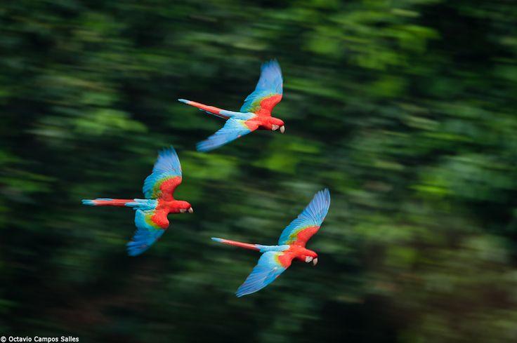 Rainforest Birds Flying Wild macaws flying in ...