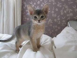 Singapura Kitten Pictures
