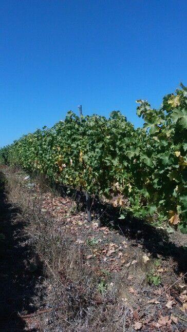 Viñas viniferas