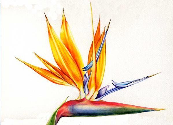 Strelitzia reginae - Bird of paradise - by Gwen Koths: Flores Birds, Bird Of Paradise, Birds Of Paradise, Strelitzia Regina