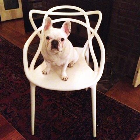 Frenchie on Kartell Masters Chair