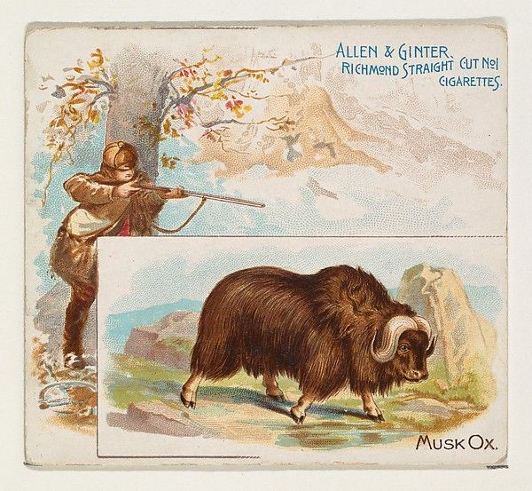 Musk Ox, from Quadrupeds series (N41) for Allen & Ginter Cigarettes