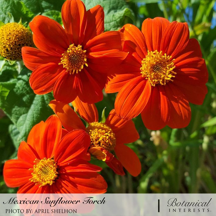 A genuine heat lover, Mexican sunflower sets the dog days of summer ablaze with sizzling orange flowers. A large and imposing plant for the back of the border. Tolerates infertile soil, drought and neglect. Read more: https://www.botanicalinterests.com/product/mexican-sunflower-torch-heirloom-seeds/