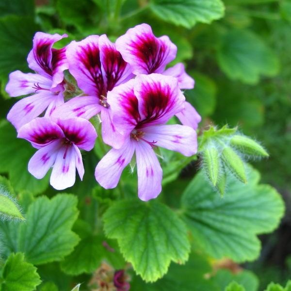"🌿 ""Geranium oil improves immune function and is helpful for relieving some of the symptoms of chronic #fatigue syndrome and #candidiasis. [It also] provides many women with relief from problems such as painful periods, #premenstrual #syndrome (#PMS), and #menopausal difficulties."" 〰 Roberta Wilson, Aromatherapy: Essential Oils for Vibrant Health and Beauty → http://dutchhealthstore.com/product/geranium-essential-oil/"