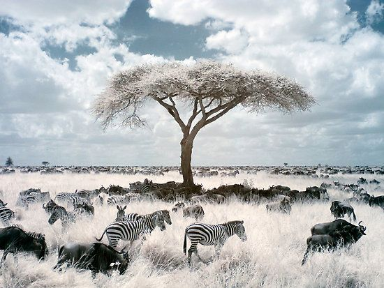 """Acacia by David Burren 
