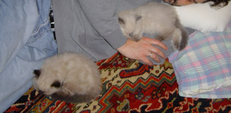 My Himalayan kittens' first night home so I slept with them on the floor. [OC] http://ift.tt/2wzHWFy