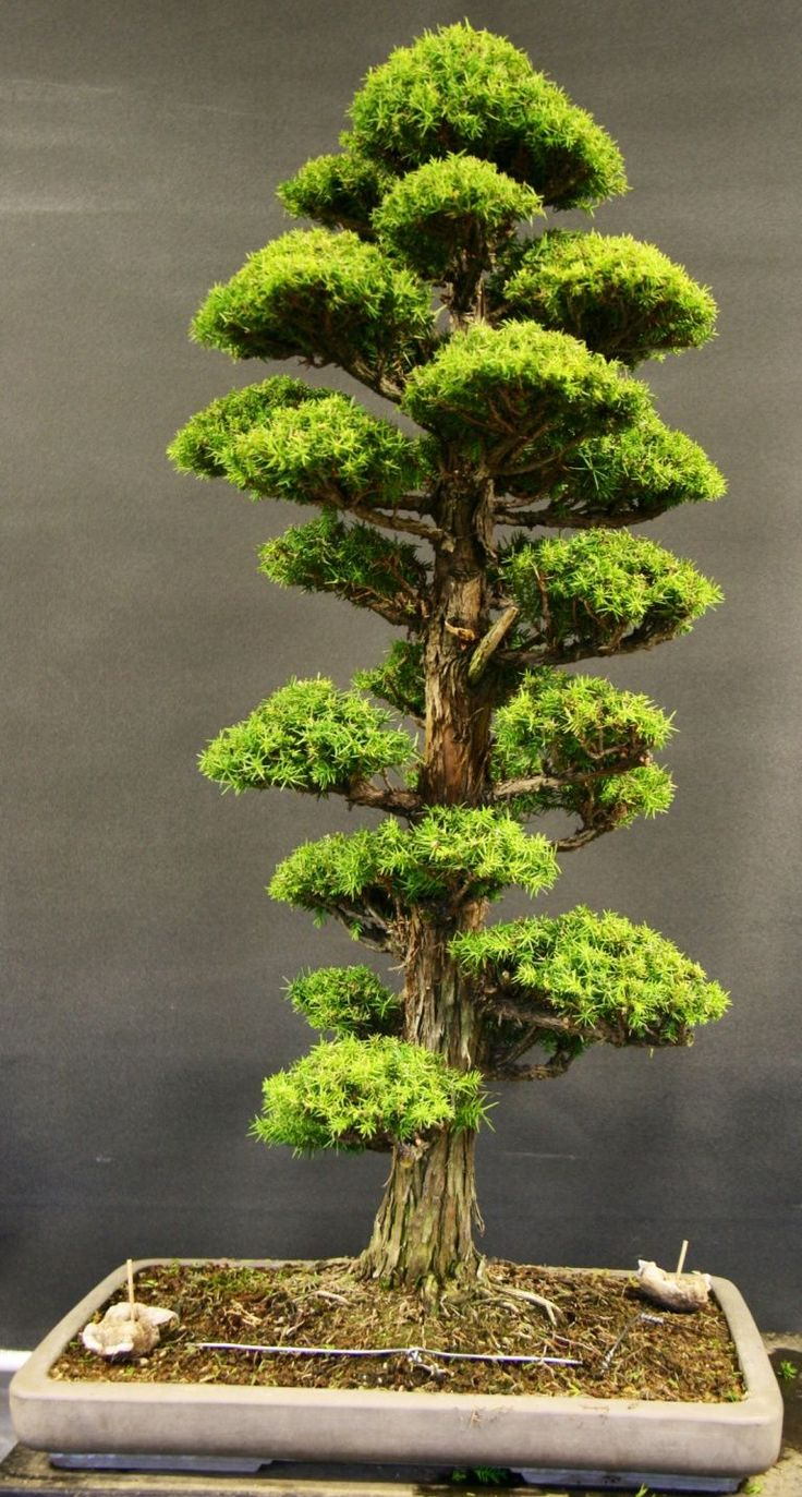 Japanese cedar bonsai John Milton Bonsaibonsai cedar
