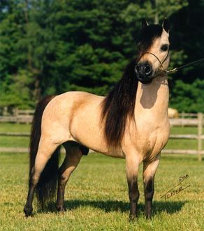buttermilk buckskin miniature horse....how incredibly adorable would kiri be on this ???