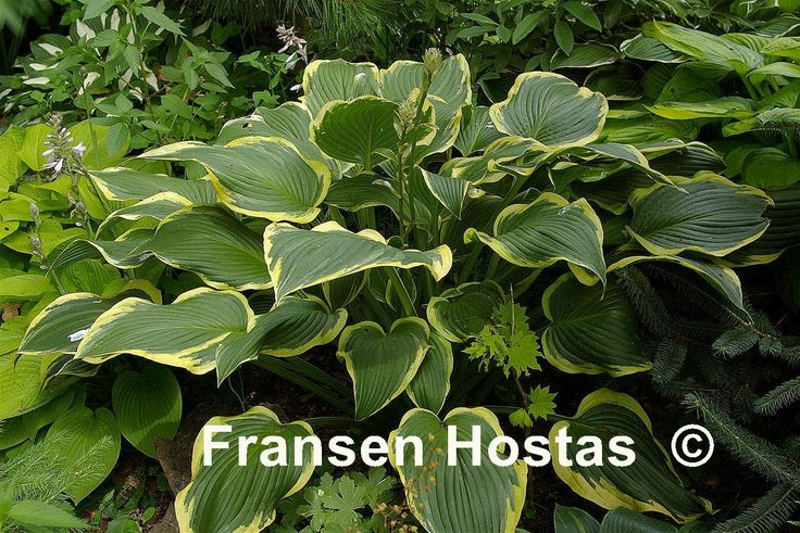 Hosta Yellow River, July 20, 2013 (Home Depot) Yes, big box store... I just can't resist!
