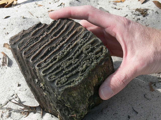 Mammoth tooth fossil -recent find on the Peace River, FL