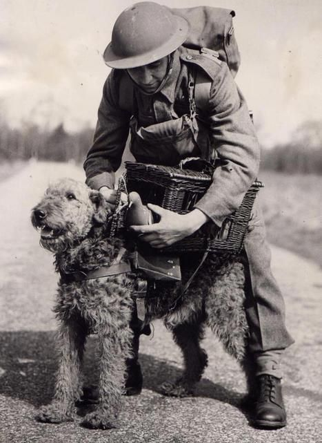 53 best Airedale Terriers at war images on Pinterest  Airedale terrier, War dogs and Dogs