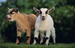 I'd like to have some pygmy goats. They can still give up to a gallon of milk, which should satisfy all of my cheese making urges. Ahhh, one day.
