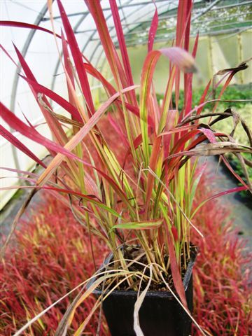 "Imperata cylindrica ""Red Baron"""
