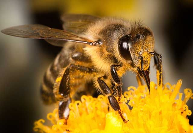 Bee Venom Destroys HIV And Spares Surrounding Cells - http://4healthyday.eu/bee-venom-destroys-hiv-and-spares-surrounding-cells/