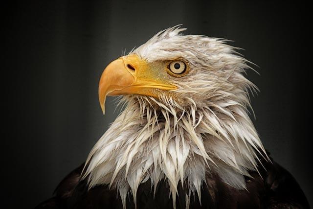 Miffed eagle 2