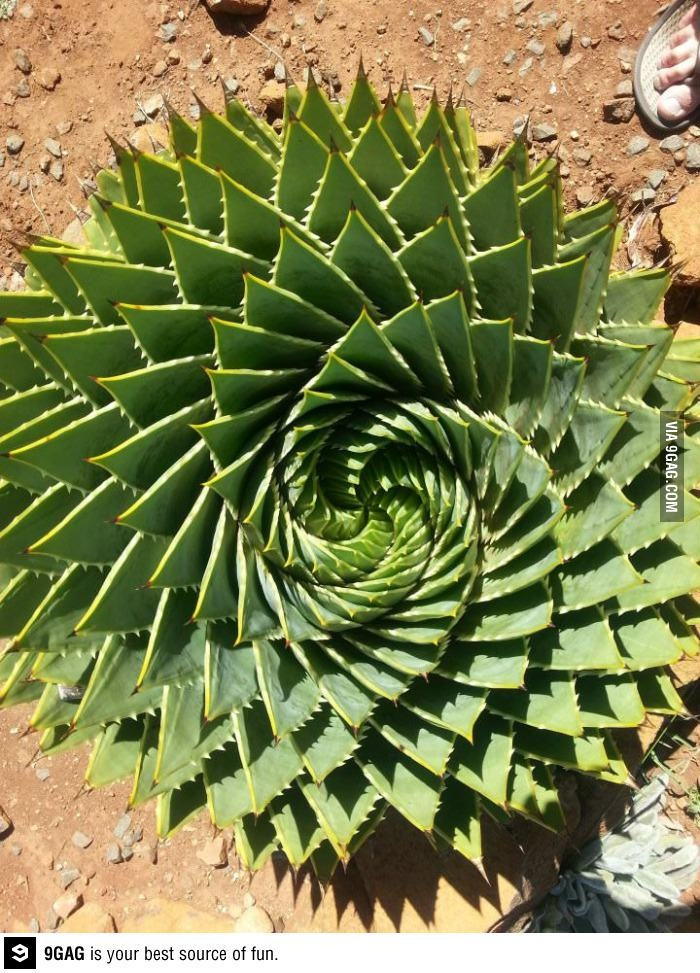 Beautiful aloe from Lesotho : Spiral Aloe (Aloe polyphylla) the national plant of Lesotho