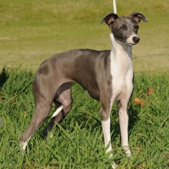 Miniature Italian Greyhound | All Things Greyhound, sight ...