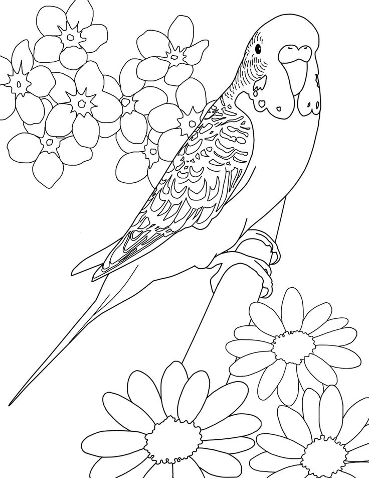 Budgie parakeet coloring page