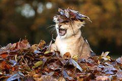Aslan yavrusu sonbahar yaprakları