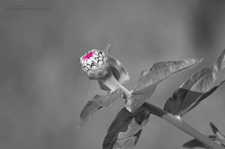 """Flower Opening From """"Flowers"""" photo print series."""