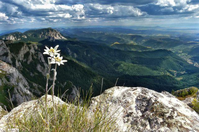 Floarea de colt sau floarea reginei Leontopodium alpinum - Floare de Colt in mediul ei natural, pe varful Hasmasu Mare (la 1800 m)