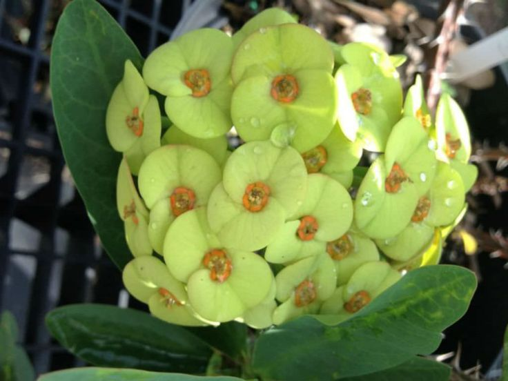 Euphorbia milii 'Primrose Yellow' is asucculent,climbing shrub growing up to 6 feet (1.8 m) tall. The stems are grayish-brown, 5-7 sided...